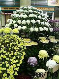 新潟の日本一の菊です。