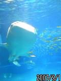 海遊館でジンベイザメに出会う!