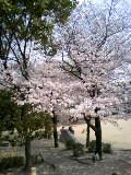 大阪池田も桜満開です。